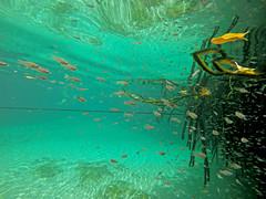 Little fish in mangrove (benjaminfish) Tags: beach mexico riviera maya tulum yucatn peninsula roo quintana 2016