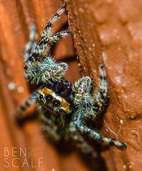 Menemerus bivittatus - 105mm macro (ben.scalf) Tags: ohio nature bug spider cincinnati wildlife arachnid micro bivittatus menemerus