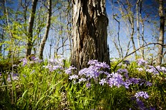 Shooting Star Trailhead (Notley) Tags: trees flower tree nature floral forest landscape spring outdoor trail missouri bark april serene 2016 10thavenue notley boonecountymissouri notleyhawkins missouriphotography httpwwwnotleyhawkinscom notleyhawkinsphotography shootingstartrailhead