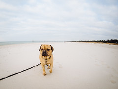 Baltica 2016 (Dog Dienstag) (tinto) Tags: dog beach olympus balticsea fisheye ostsee prerow parker omd 9mm m43 em10 mft dars bodycap puglife vsco dar microfourthird bodycaplens vscofilm 9mmbodycap tintography baltica2016