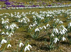 20160320_130818-1 (HAKANU) Tags: flowers white field garden countryside early spring colours blossom sweden lawn crocus smland snowdrops summerhouse springtime