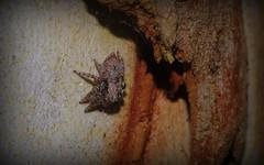 Servaea incana (dustaway) Tags: nature australia nsw arthropoda arachnida lismore araneae jumpingspiders salticidae araneomorphae australianspiders northernrivers forestredgum servaeaincana hoaryservaea lismorerainforestbotanicgardens spideronbark