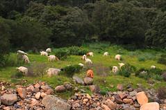 ceddoni 'e krabas (babajuanne) Tags: prato mediterranea capre macchia pascolo gregge radura