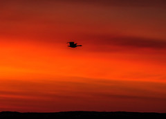 Dawn Patrol (edmason88) Tags: silhouette sunrise early glow canadagoose strathconacounty tamron150600