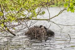 Kisses for cooty (von Renate Bomm) Tags: spring wasser nest cologne huhn brten teich coot vogel frhling 2016 blsshuhn 366 decksteinerweiher rallen brutzeit flickrunitedaward renatebomm
