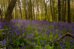 Bluebells (Tim Melling) Tags: west bluebells yorkshire lakes bluebell bretton hyacinthoidesnonscripta timmelling
