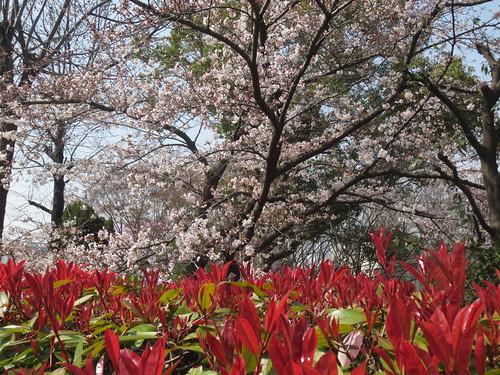 カナメモチと桜