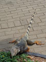 (sftrajan) Tags: colombia reptile lizard iguana botanicgarden botanicalgarden medellin jardnbotnico   jardnbotnicodemedelln sonydsch90 jardnbotnicojoaqunantoniouribe jardnbotnicodemedellin botanicalgardenofmedelln medellnbotanicgarden