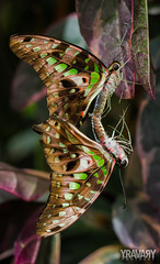 Voilier Vert / Tailed Jay / graphium agamemnon (www.yravaryphotoart.com) Tags: macro closeup butterfly insect bokeh montreal papillon insecte jardinbotaniquedemontral tailedjay graphiumagamemnon profondeurdechamp canoneos7d canonef100mmf28lmacroisusm voiliervert yravary yravaryphotoart