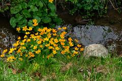 rafz_43_03042016_10'58 (eduard43) Tags: flowers nature flora natur blumen marshmarigold 2016 calthapalustris kingcup rafz sumpfdotterblumen