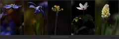 USA_1210 (Weinstckle) Tags: pflanze anemone blume blte knospe hyazinthe kornelkirsche blaustern leberblmchen
