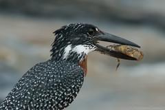 Giant Kingfisher / Grosser Eisvogel (andreas.saladin) Tags: sdafrika krebs fressen giantkingfisher beissen eisvogel
