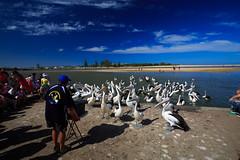 LR-160316-042.jpg (Finert) Tags: theentrance friendlyflickr pelicanfeeding 160316