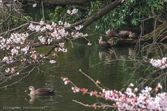 Spring Swim (ShiroWengPhotography) Tags: travel water japan swim landscape photography tokyo duck spring shinjuku live ngc ducks sakura gyoen tau kanto 2016 jyoen shiroweng