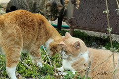 """""""So you mean to tell me that this stuff just grows out of the ground?"""" (judecat (getting back to nature)) Tags: simon leo catnip felines ozzie browntabby redtabbies catsingarden"""