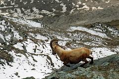 on the run (werner boehm *) Tags: wildlife gornergrat tier capricorn steinbock wernerboehm