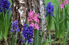 Hyacinth (careth@2012) Tags: nature petals spring hyacinth