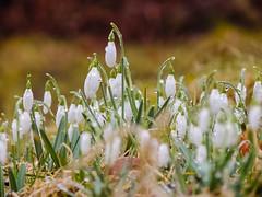 Lacrime bianche (chiarafratocchi) Tags: flowers white flores blanco nature norway natura noruega fiori rugiada pioggia bianco norvegia lagrimas bosco gocce lacrime