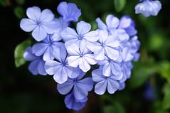 Plumbago (aelx911) Tags: blue plant flower macro nature bokeh sony taiwan kaohsiung plumbago glens fe90 nex6 fe90f28