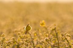 sunrise song (w-venne) Tags: sun bird yellow sunrise pflanze paderborn gelb sonnenaufgang raps vogel acker ort salzkotten yellowwagtail motacillaflava wiesenschafstelze