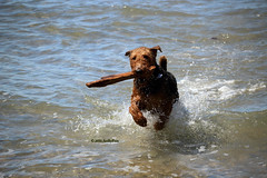 I've Got The Stick! (Art By Pem Photography: Tao Of The Wandering Eye) Tags: ocean usa dog pets beach water canon eos rebel nopeople stick fetch airedale sl1 fineartphotography splashing airedaleterrier canoneosrebelsl1