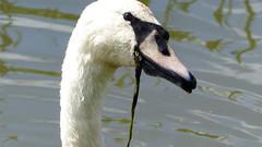Swan/Zwaan (ArendMS) Tags: bird birds swan vogels vogel zwaan zwanen panasonicfz200