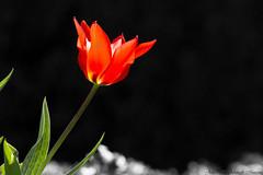 Red Tulip (07victor84) Tags: nature canon catchycolors spring flora spokane tulip 7d amateur standout redtulip tamaron begginer selectivecolors hillyardspokane