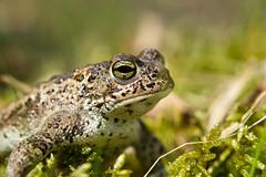 Rugstreeppad - Natterjack toad (aaronmeijer2) Tags: macro animal canon photography eos wildlife amphibian frog duinen awd amsterdamse amfibie amsterdamsewaterleidingduinen wildlifephotography waterleiding 1200d