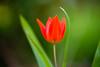 wunderblume auf lava (lumofisk) Tags: light red macro green rot closeup licht dof bokeh outdoor tulip translucent grün shining leuchtend draussen tulpe 80mm 0mmf0 nikondf
