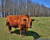 Bull! (elviskennedy) Tags: blue trees shadow red sky green look field wisconsin rural landscape nose cow spring cattle bullock outdoor farm sony attack scenic elvis ears bull ox nostril pasture rodeo farmer coleman horn steer bison taurus bullfight herd bovine wi bullriding toro hdr highdynamicrange bucking hooves torro rx1 bolux wwwelviskennedycom elviskennedy rx1rii rx1rmk2 dscrx1rii dostaurus elsolotorro