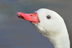 Coscorobazwaan (Coscoroba coscoroba) (mia_moreau) Tags: bird flickr nederland vogel limburg coscorobacoscoroba zwaan zuidlimburg kasteelpark coscorobazwaan sonyslta58 miamoreau