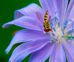 Chicory Diving (DarkOnus) Tags: macro closeup insect lumix fly day pennsylvania diving panasonic friday common 2d chicory buckscounty hoverfly cichorium intybus flydayfriday dmcfz35 darkonus
