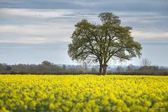 Surrounded (Sarah_Brooks) Tags: flowers sky cloud tree field yellow spring somerset lonetree rapeseed rapeflowers