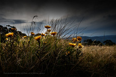 Wild Flowers on a Mountain (Leanne Cole) Tags: flowers mountains landscape photographer photos overcast australia images victoria environment fineartphotography craigshut mtsterling environmentalphotography fineartphotographer environmentalphotographer leannecole leannecolephotography
