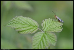 DSZ_0696-21-04-2016 - mosca scorpione (r.zap) Tags: panorpacommunis parcodelticino moscascorpione rzap