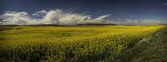 Primavera amarilla (PILIRUBIO) Tags: colza ltytr1 desafioafz160401