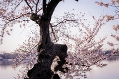 (Eno-Masah) Tags: travel sky flower tree nature beauty cherry asian outdoors photography japanese dc washington spring blossoms explore