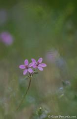 Les deux font la paire ! [Explore] (Calypso~) Tags: fleur rose vert prairie