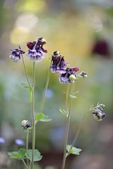 Aquilegia vulgaris 'Blackberry ' (myu-myu) Tags: plant flower japan nikon blackberry aquilegia mygarden  d800 aquilegiavulgaris   makroplanart2100zf