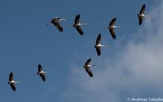 Yellow-billed storch (andreas.saladin) Tags: flickr sdafrika storch yellowbilled nimmersatt