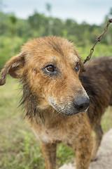 Melancholy (Photosightfaces) Tags: dog sad 21 canine best sri lanka srilanka melancholy srilankan lankan
