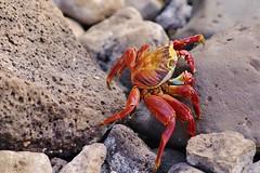 Sally Lightfoot Crab - Galapagos (Susan Roehl Thanks for 5.1 M Views) Tags: southamerica ngc sallylightfootcrab grapsusgrapsus photographictours 55300mmlens pentaxk7 galapagos2013 naturalexposures sueroehl ofthecoastofequador commoncrabalongwesterncoastoftheamericas