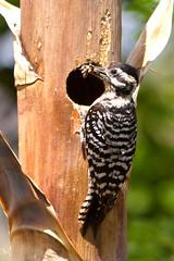 IMG_0276 Female Ladder-backed Woodpecker at Nest Hole (lois manowitz) Tags: arizona birds tucson woodpeckers nests