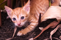 Kitty (Mohammed Alsagoor) Tags: cats pets cute home closeup photography kitten animalplanet