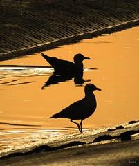 Gulls (kathryn Wilkins) Tags: birds gulls leigh essex leighonsea
