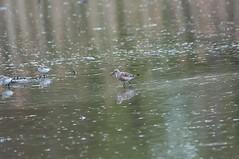 Curlew Sandpiper (martytdx) Tags: birds adult lifelist calidris nj sandpiper rarity shorebird curlewsandpiper calidrisferruginea scolopacidae breedingmolt heislerville heislervillewma