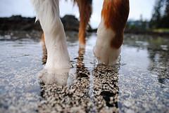 Fancy Feet (Zero Den) Tags: tofino aussie australianshepherd aussies