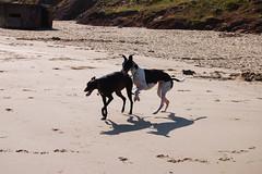 150812 Cayton Bay-0111 (whitbywoof) Tags: rescue dog pet greyhound pixie retired racer pedigree keela caytonbay killalaluckie accoladehounds