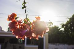Bugambilia I (efra.tzuc) Tags: flores amanecer bugambilias mérida