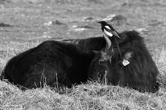 Synergie durch Putzervogel - 021-2016_Web (berni.radke) Tags: bird rind magpie synergy vogel münsterland stever synergie elster olfen heckrind heckcattle steveraue putzervogel